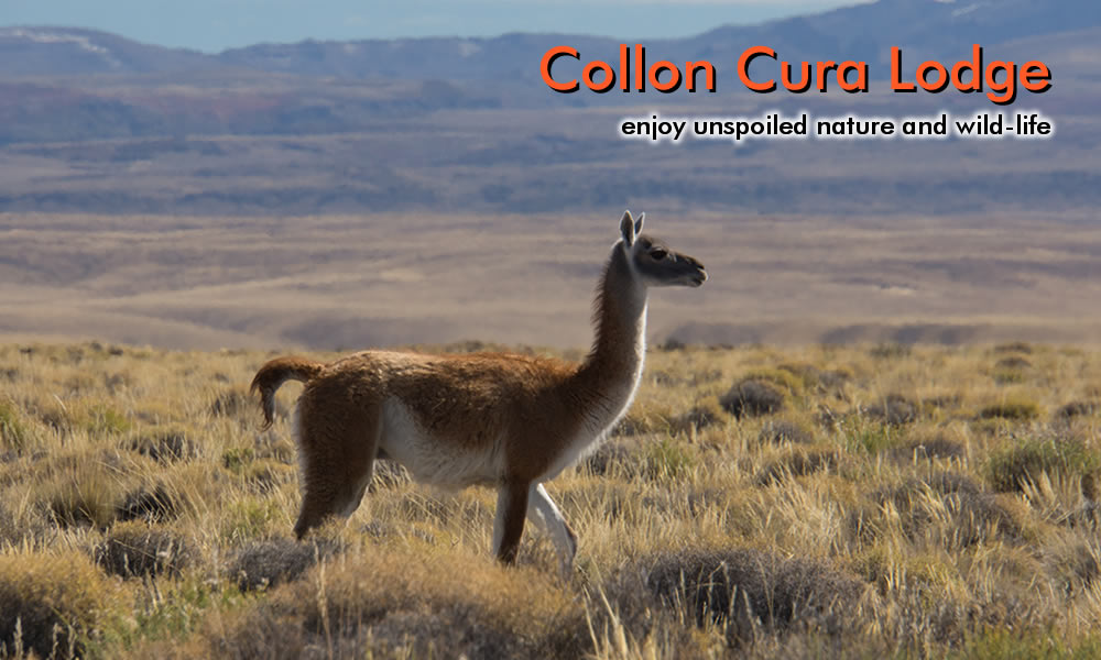 photo of a guanaco